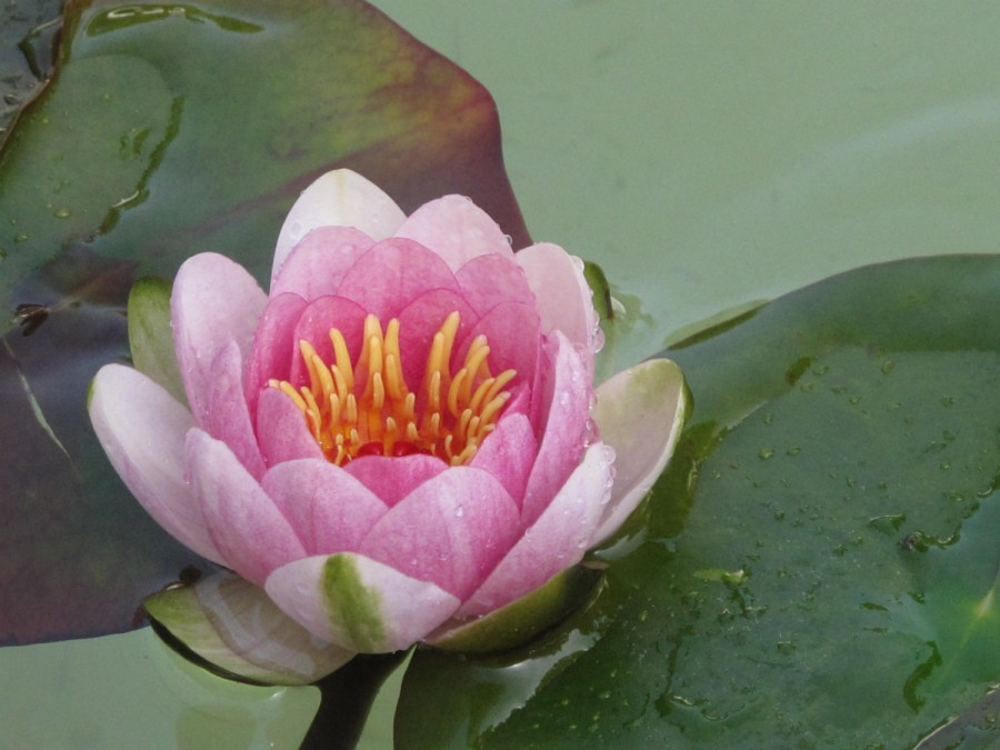 lotus flower home page